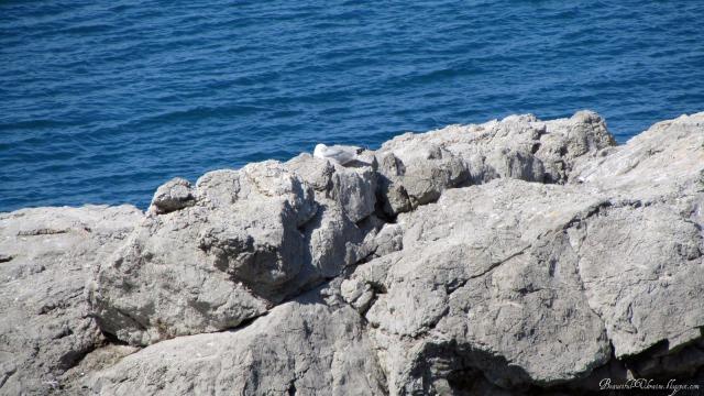 Чайка чистит перышки Изумруд 2 (Атлантика)