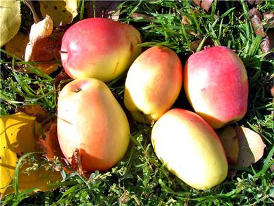 Яблоки Кандиль синап